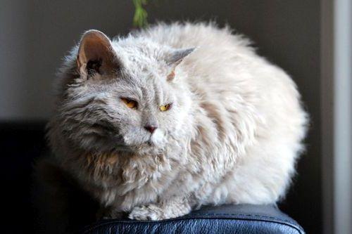 Gambar Ras Kucing Lambkin