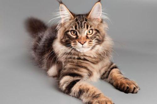 Gambar Ras Kucing Maine Coon