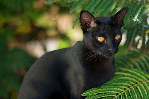 Gambar Ras Kucing Mandalay