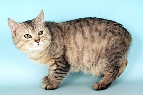 Gambar Ras Kucing Manx