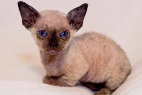 Gambar Ras Kucing Minskin