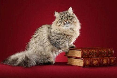 Gambar Ras Kucing Minuet