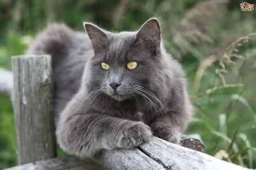 Gambar Ras Kucing Nebelung