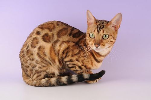 Gambar Ras Kucing Ocicat