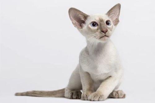 Gambar Ras Kucing Oriental Shorthair