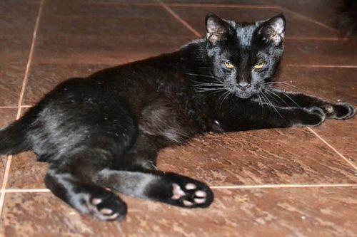 Gambar Ras Kucing Pantherette