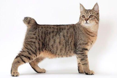 Gambar Ras Kucing Pixie-bob