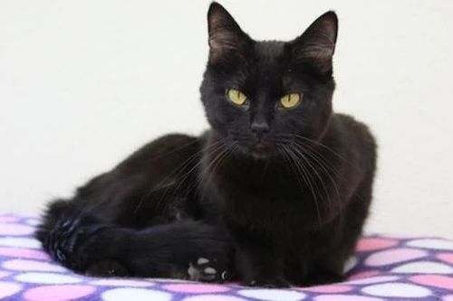 Gambar Ras Kucing Raas
