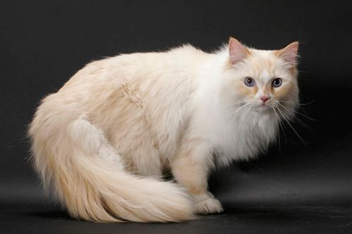 Gambar Ras Kucing Ragamuffin
