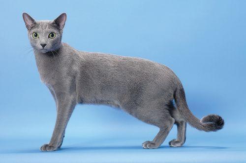 Gambar Ras Kucing Russian Blue
