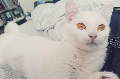 Gambar Ras Kucing Russian White