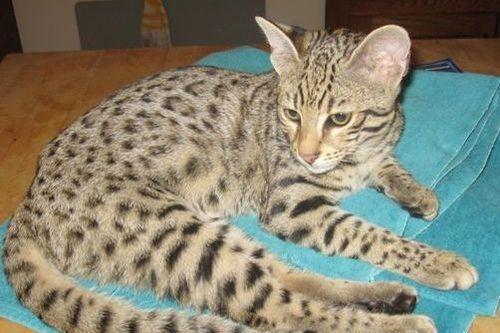 Jenis Kucing Peliharaan Lengkap Dengan Deskripsi Dan Gambar