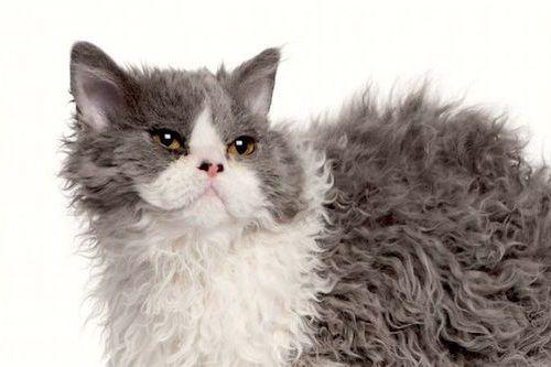 Gambar Ras Kucing Selkirk Rex