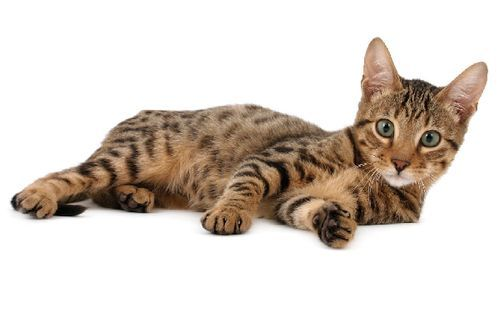 Gambar Ras Kucing Serengeti
