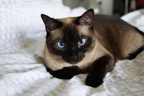 Gambar Ras Kucing Siam