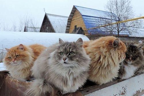 Gambar Ras Kucing Siberian Forest