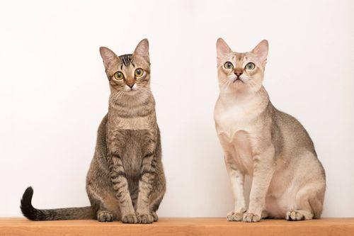 Gambar Ras Kucing Singapura