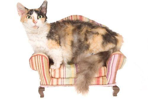 Gambar Ras Kucing Skokuum