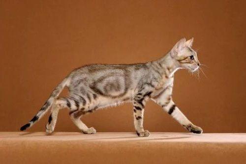 Gambar Ras Kucing Sokoke