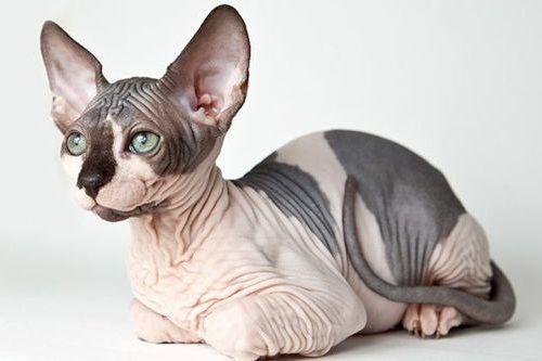 Gambar Ras Kucing Sphynx