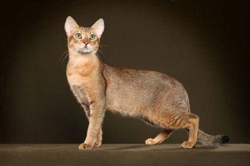Gambar Ras Kucing Stone Cougar