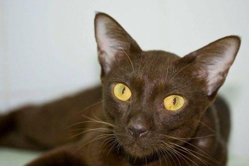 Gambar Ras Kucing Suphalak