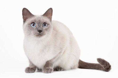 Gambar Ras Kucing Thai