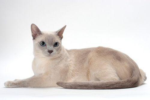 Gambar Ras Kucing Tonkinese