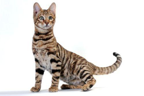 Gambar Ras Kucing Toyger