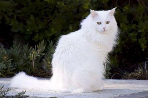 Gambar Ras Kucing Turkish Angora
