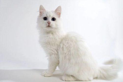 Gambar Ras Kucing Turkish Van