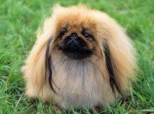 Gambar anjing Peking