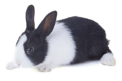 Gambar kelinci Dutch