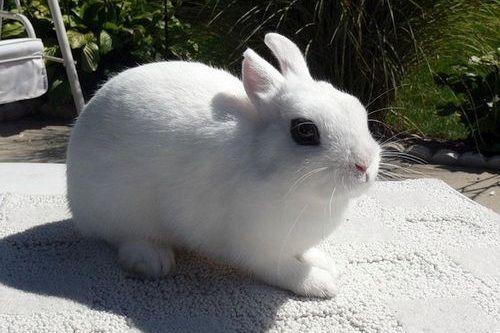 Gambar kelinci Dwarf Hotot