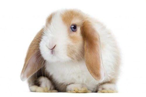 Gambar kelinci Mini Lop