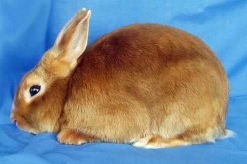 Gambar kelinci Mini Satin
