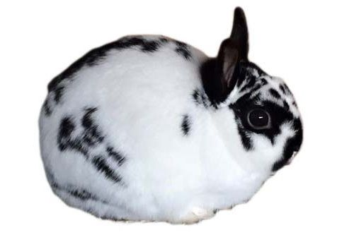Gambar kelinci Polish