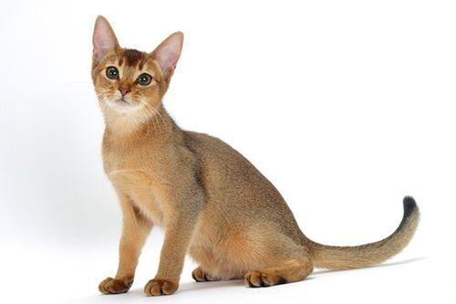Gambar kucing Abyssinian