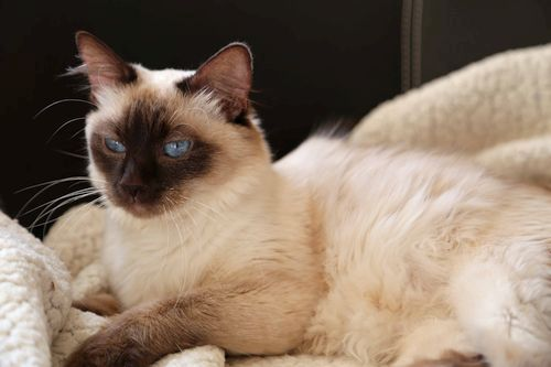 Gambar kucing Bali