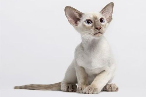 Gambar kucing Oriental