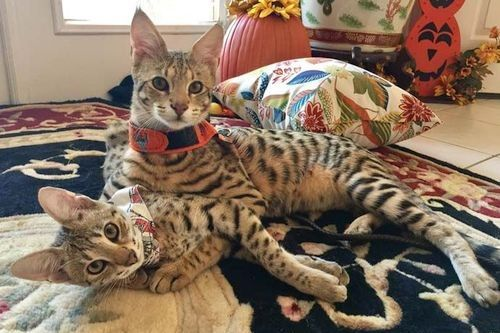 Gambar kucing Savannah