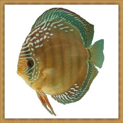 German Stripper Red Discus