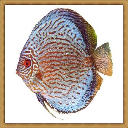 Giant Blue Turquoise Discus