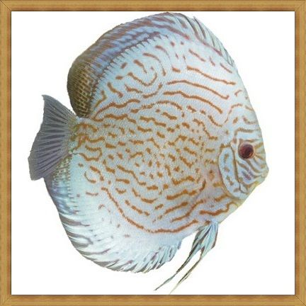 Giant Hi-body Discus