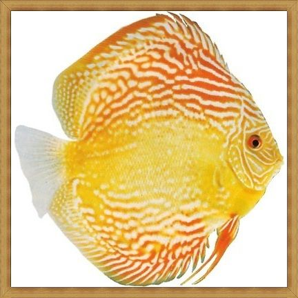Giant Pearl Red Discus