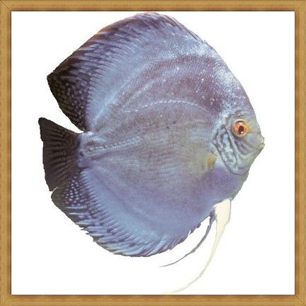 Giant Violet Blue Discus