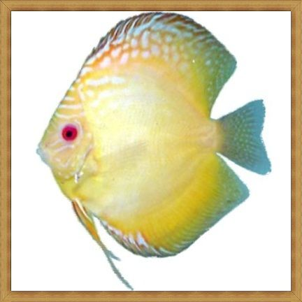 Gold Diamond Discus