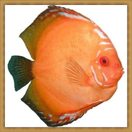 Ikan Discus Paling Keren
