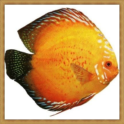 Golden Red Spotted Discus
