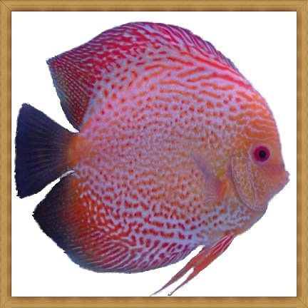 Golden Red Spotted Snakeskin Discus